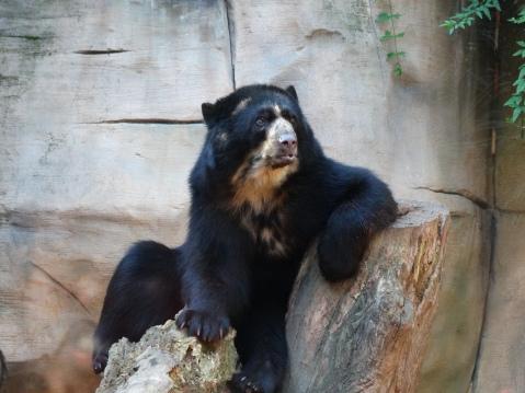 Urso-de-óculos_no_Zoológico_de_Sorocaba